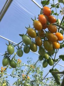 Nova Cherry Tomatoes