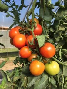 Sun Gold Cherry Tomatoes