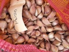 Music Garlic