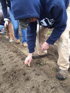 Erva planting garlic