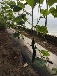 Cucumbers growing