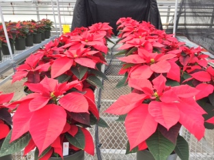 Poinsettias at greenhouse