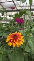 Zinnias at greenhouse