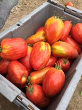 Speckled Roman Tomatoes