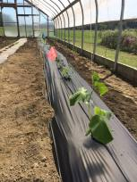 Grafted Cucumbers