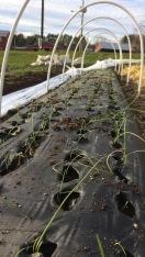 Baby onion transplants