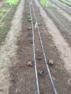 Cutworm barrier on Salanova